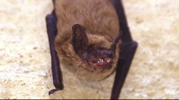 Lethal bat disease found in new species near North Bend
