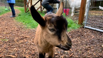 A Baby Goat Date might be the best date you ever go on
