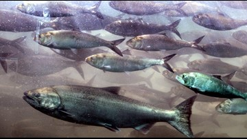 State invests $45 million to restore Chinook salmon populations
