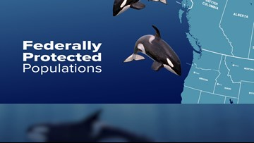 Orca population: Just 76 Southern Resident killer whales left in the wild