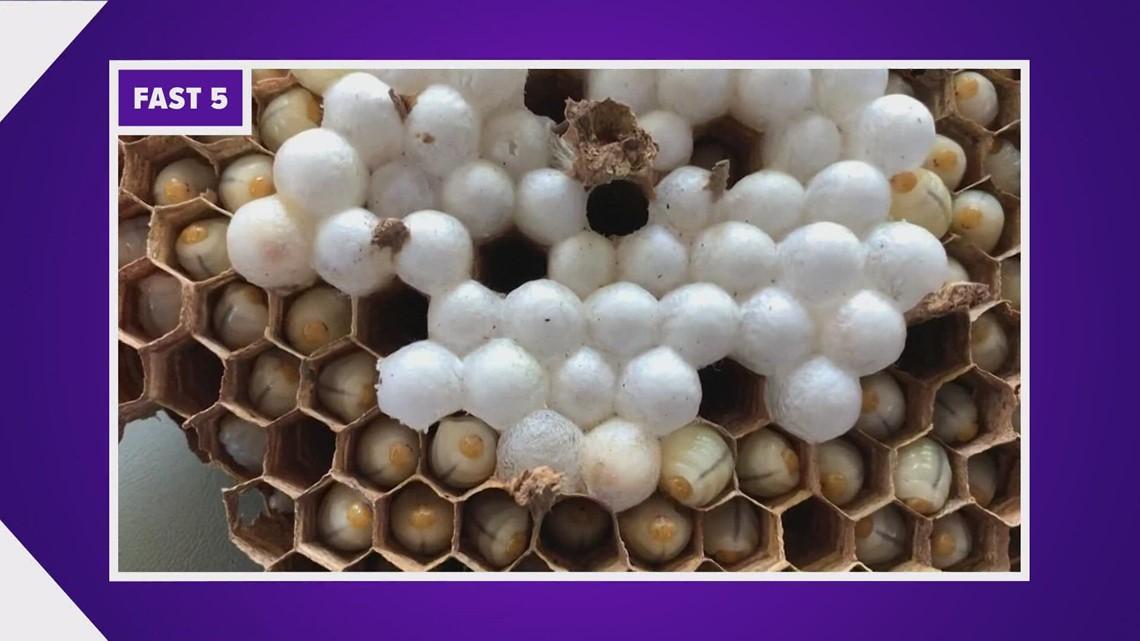 Eradication planned for 2nd Asian giant hornet nest in Whatcom County