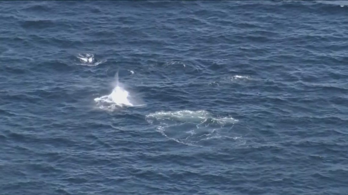 Orcas seen traveling in Puget Sound
