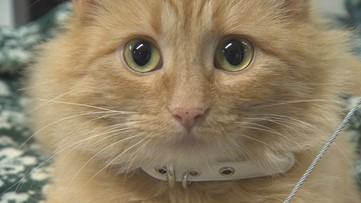 Caffeine and kittens are the big draw at Tacoma's first cat cafe