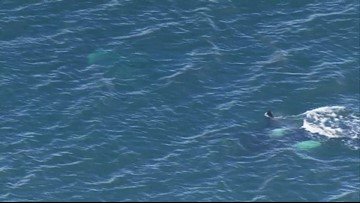 Baby orca spotted with pod near West Seattle on Tuesday 4/9/19