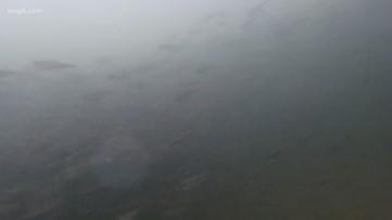 Rain and flooding adding stress to Washington salmon hatcheries