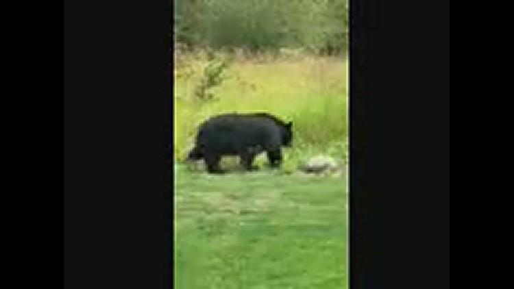 Big mama bear in our backyard