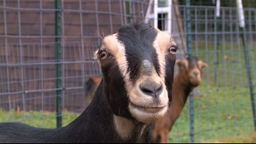 The Pacific Northwest sanctuary that works to save goats and find them forever homes - 2019's Best