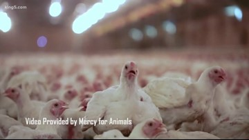 What a TEDxSeattle speaker learned from going undercover into the animal farming industry