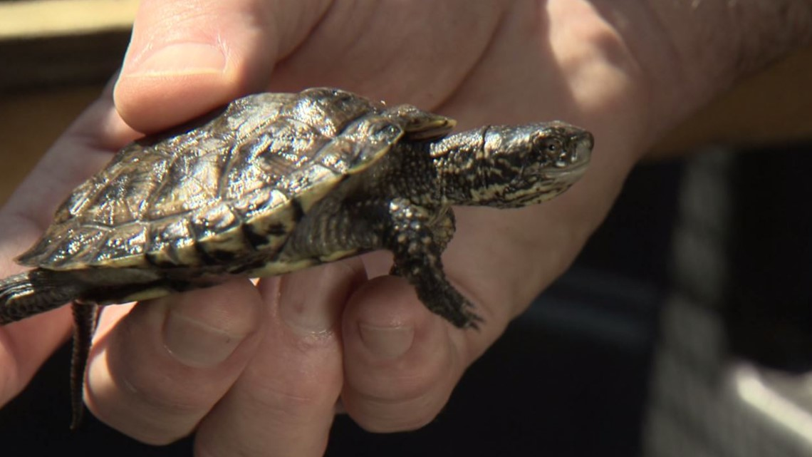 The Pierce County pond where turtles are fighting to make a comeback