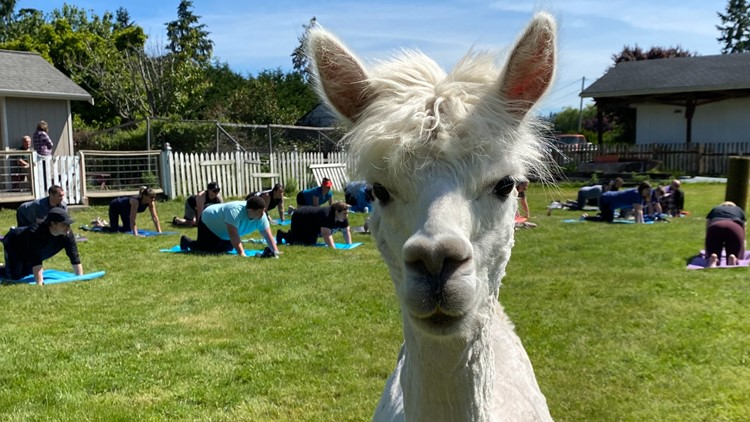 Rest and relax amongst rescued alpacas at Firwood Farm in Fife