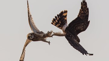 Mid-air fight between owl and hawk caught on camera in Skagit County
