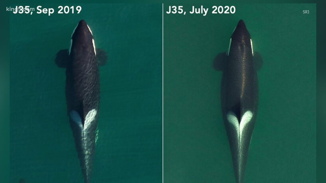Orca J35 who carried dead calf for 17 days is pregnant again