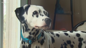 'She's our hero': Dalmatian puppy alerts Pierce County family to house fire