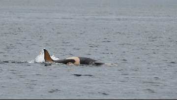 NOAA seeks public comment for killer whale protection regulations
