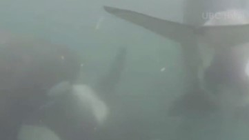 RAW: Underwater footage gives new look at orca behavior
