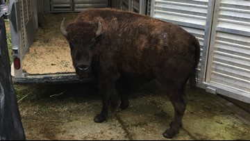 Bison seized in animal cruelty case leave Washington for new home in Texas