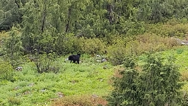 We spotted a black bear on the side of the Lateral Moraine trail leading to Blue Glacier. (Photo: Jimmy Bernhard)