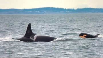 Biologist warns it's 'past the time' to act for Southern resident killer whales