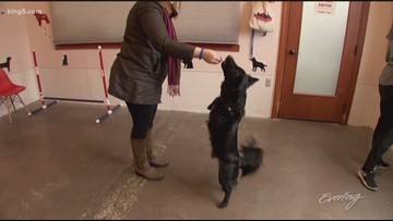 Bring your dog to try the agility test at Woof by Woofwest this weekend - KING 5 Evening