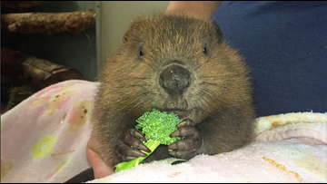 Meet Butternut, Point Defiance Zoo's baby beaver who is 1000% squee