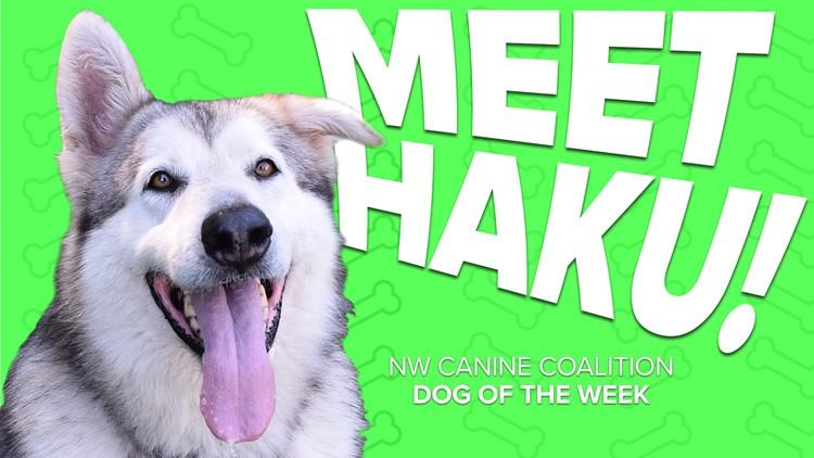 Canine Rescue of the Week: Haku