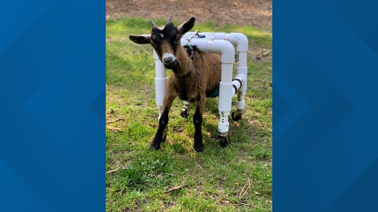 Zara the goat with a pvc cart