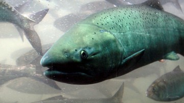 Chinook salmon fishing season restricted after poor returns