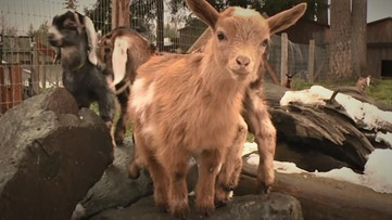 Ring in the Spring, It's baby goat season!