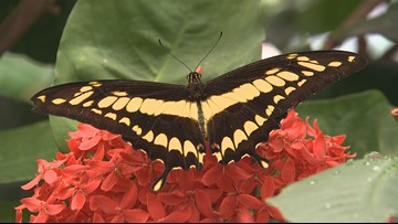 Escape to the tropics inside Pacific Science Center's Butterfly House