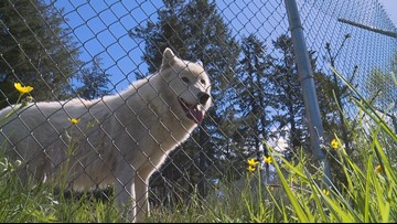 Wolf Haven International serves as a sanctuary to over 50 wolves