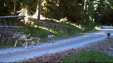 New wolfpack in western Oregon boasts 4 new pups