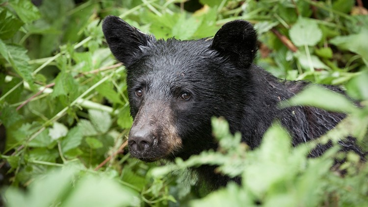 Reports of bear sightings increase at Mount Baker-Snoqualmie campgrounds