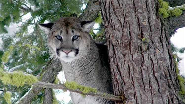 If approached by a cougar, appear as large as possible, make loud noises and back away slowly.