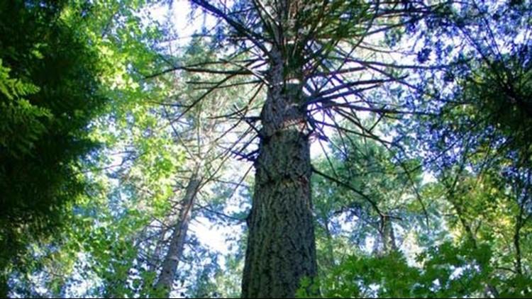 "The Bainbridge Island City Council has adopted regulations to protect ""landmark trees."""