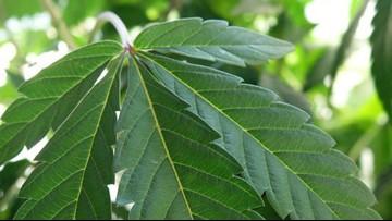 Washington issues its first marijuana research license