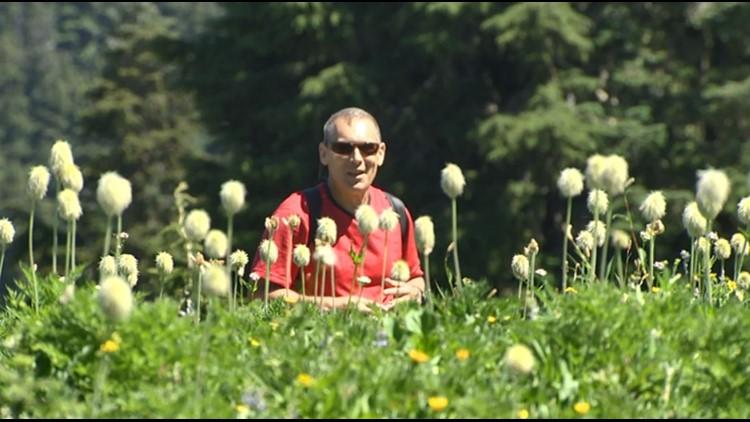 Pasque flower seedheads