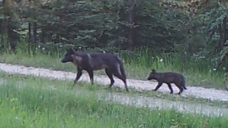 Lethal action against new Washington wolf pack approved by state