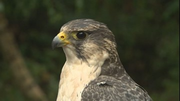 Hold a hawk and help birds of prey at The Raptors in Cowichan B.C.