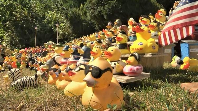 Ducks flock to this Seattle yard, no matter the season