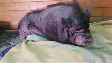 Portly pig gets makeover at  Pasado's Safe Haven in Monroe