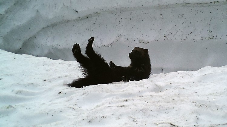 Male wolverine rolls in snow outside the den. (Photo: Cascades Carnivore Project)