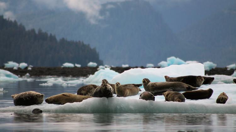 UnCruise Seals LeConte Ice Gardens