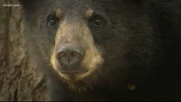 Thurston County judge rules timber farm bear hunts don't violate state law