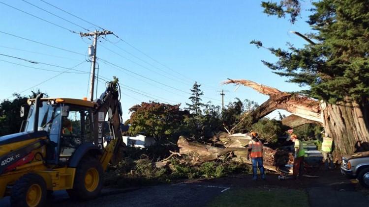 Monterey cypress tree falls