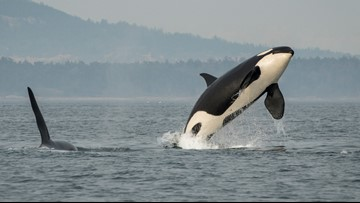 Conservation districts throughout the Puget Sound region join for 'Orca Recovery Day'