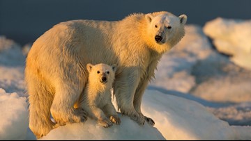 Paul Souders is hunting for polar bears ... with a camera