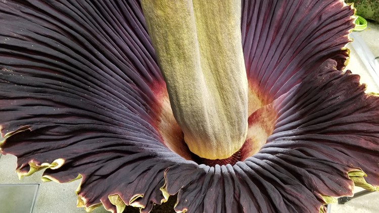 Morticia Corpse Flower Amazon