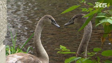 Healing swans return to JBLM hospital ponds