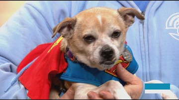 Pets up for adoption show off their Halloween costumes