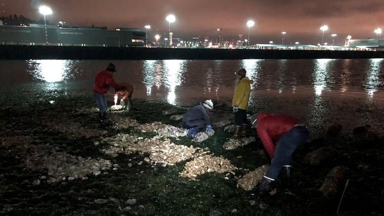 Oyster Seeding